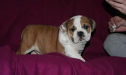 Fawn/white, Brindle/white, White.  Dad is #2 Bulldog in Canada, he is also an American and a Canadian Champ.  Mom was #1 Female Bulldog in Canada in '09, she also is a Canadian Champ.  Both parents are Purebred English Bulldogs.  These puppies come from a