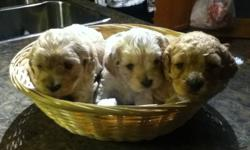 3 Female Cockapoo puppies for sale, $500.00 each. Tails docked and dew claws removed. Mother and Father can both be seen. Non-Shedding, these pups are good for people with allergies. Ready to go December 31 or later. These pups will have first shots and