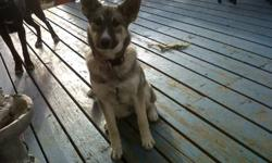 we have a 5 1/2 month old norwedgian elkhound/ husky cross, that needs her forever home, her name is Lola and she is a very smart and loveable pup, she gets along well with cats and with other dogs. she also enjoys her baths and going camping.