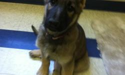 I have eight beautiful  male & female  German Sheperd Pups for sale. Parents are purebred from excellent bloodlines. The sire is Kansas Vom Emmanuel from a blood lineout of Germany. The dam is Kasey Von Kiesthaus from a  KING sheperd blood line out of the