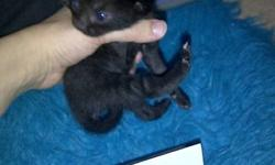 my cat had 8 beautiful black babies on halloween there are 4 females left they are very cute. they are not ready to go yet but will be ready by the end of December i just wanna find homes for these cute little kitties if they dont have homes they will go