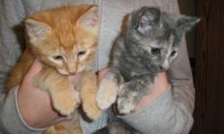 We have 4 kittens from our female calico. They are litter box trained. These healthy kittens are raised indoors with kids. They are ready for their new home. Please call for info. Thanks.