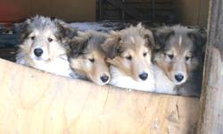 Five sable males and two sable females are available. The have had their first shots, are micro chipped, and dewormed. They are white factored (meaning large white collars and white back of legs) and have lovely dispositions. They are a great child and