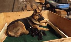 vaccinated, dewormed and garanted 2 years. Temperment test done to help you choose the right pup. Both parents are well behaved, calm and adorable pets perfect parents well tempered.   elevagelegrandventdemanxetbergerallemand.ca   Vidéo: