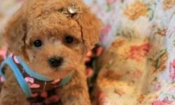 Family raised teacup tiny poodle puppies! They are ready to be re-homed now. Very very TINY, ONLY 1 POUND now. Will be around 3 pounds to 3.5 pounds fully grown. Come with health guarantee. Please send me an email if interested in viewing, I will get back
