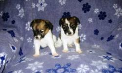 2 male Papillion puppies, great little personalities. Will come with shots to date, deworming & vet check. Ready to go to their new homes. Call 1-204-347-5517 to arrange to see them.
