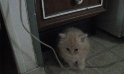 Chuckie comes with his first two vaccinations and all dewormings done and a kitten starter kit with almost everything you will need to get started with your new little bundle of joy. He is the cutest little kitten I have ever seen but he is a little