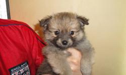beautiful Pom-Chi puppy looking for new home. both parents are Pom-Chi,shown at the last pic. 7lb-8lb full-grown.  she is a beautiful dark tan girl, come with first shot, vet check and deworming. please contact for more information or make an appointment