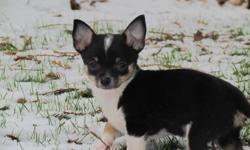 We have a beautiful Pomchi pup for sale. He is a male, tri-color born in a litter of 4. He will grow up to be 6 pounds. He is the last one for sale. Someone paid a holding fee for him but never came.   If you are interested please come by and have a look