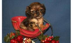 """These """"Duggs"""" are absolutely adorable. They are very playful and have wonderful personalities. Thier mom is a fawn and black Pug and daddy is a beautiful long coat Mini Dachshund. Both parents are super healthy and all puppies are too. My puppies have"""