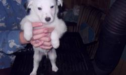 Puppies for sale, dad is part husky and Dalmatien and mom is sheep dog. Call 709 222 0774 for details.