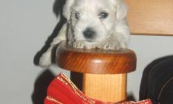 We have 4 beautiful Rare  Mini Schnauzer puppies for sale. 3 girls and 1 boy. Parents on site, tails docked. Will be de-wormed . Call 905 984 6700- no emails please