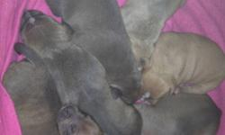 Hello , I have 7 wonderful puppies for sale .. They will be ready to go middle feburary .. I have 2 girls & 4 Boys .. All Beautiful Colors ..they will all be vaccinated and good to go . I would like to find a loving caring home for my littles pups like I