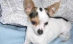Beautiful male chihuahua , a very sweet and lovable boy, weighs 4lbs and is neutered. Playful with a great temprament. Barks when someone is at the door, and is good with people when he gets comfortable. He is white with black and has brown patches over