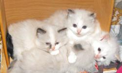 Sweet fluffy Ragdoll Kittens born August 20/201; There are 3 different colored females and one flamepoint male to choose from. Kittens are eating on thier own and litter trained already. They are all family raised and friendly; well socialized with