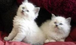 dewormed deflead only 3 left beautiful kittens great w kids soft and fluffy bright blue eyes good with kids other cats an small dogs just over 7 weeks plz email with contact number if interested they r 200 obo but need great homes thank you bothe male and