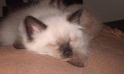 We have 2 little adorable ragdoll kittens that need to find their forever homes.  They are just over 9 weeks old.  One is a male mink ragdoll (very soft silky long hair) that is so sweet and lovable.  He is very playful and loves to cuddle with you.  The