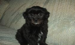 We have beautiful Shih Poo puppies looking for their new homes.  Mom is a Shih Tzu, dad a Mini-Poodle.  Pups are very social and friendly and will make a great family pet - excellent with children as well.  Their coats are gorgeous and super soft! Pups