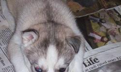 Siberian Husky puppies. Parents on site. 1 female- light tan/caramel color as in picture with brown eyes , and 5 males- 1 light tan/caramel colored,1brown/1part blue eye ,  4 black/white, 2 brown eyed,1 with 1 brown and 1 blue eye, 1 with grey eyes,
