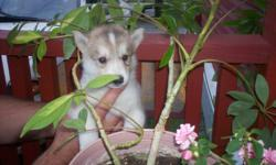 BEAUTIFUL SIBERIAN HUSKY PUPPIES FOR SALE. ONLY 1 LEFT OUT OF 8. A BEAUTIFUL FEMALE. Born on August 15, 2011. Paper trained and kennel trained. The puppy is very smart and is starting to be house trained. The parents are of excellent temperment and are