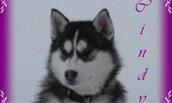 Beautiful Siberian Husky Puppies We have 1 Litter of beautiful Siberian Husky Puppies available. Female1: ON HOLD Male1:    ON HOLD Male2: Available Male3:   ON HOLD All of our Siberians are family raised with young children. Our Siberians live outdoors