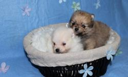 2 beautiful Pomeranian puppies available! Will be ready for their new homes on Jan 26, 2012.   PUPPIES AVAILABLE: The first male is white with a faint color of cream (will look like his mother but with more white) He has a very layed back personality!