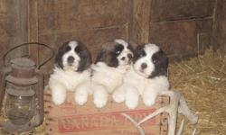 Adorable pups ready to go! Sire is registered - AM/CAN champion bloodlines. Dam is not registered. Parents are very friendly, loyal, and ready to please. Pups come with first shots. They are not papered. Deposit will secure your choice. Pics 1 and 3 is