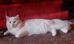 We are regretfully giving up our white cat. Reasons are that we live in a small apartment, and he needs more room to play. He is 8 months old. Very affectionate, loves to cuddle! His name is Mufasah, and knows his name well. Comes with litter box, litter,