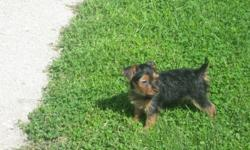 Beautiful Yorkie Puppies.   1 Female, 1 Male. $700.00 .  Their colours will be black. brown and silver . They are toy yorkies. Non Shedding, Non Allergic. Excellent Temperments!!! They have their 1st set of shots, dewormed, Tails cropped . They are