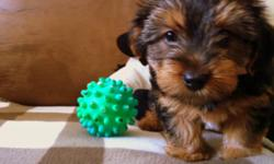 We are looking for a loving home for 4 female yorkie mix puppies. They are 3/4 yorkie and 1/4 schnazuer. They have their tails docked and the first set of shots as well as vet check. Both mom and dad are on site. If you would like to come see them or