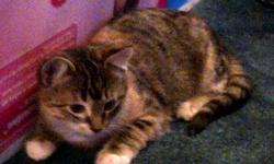***Sold***Stunning, beautifully marked kitten - pictures do not do her justice!   Tigress- Super sweet and sassy petit kitten.  Tigress is a Calico Tabby with very unusual markings. Very easy to fall in love with! Female $75.00   This kitten have been