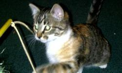 Stunning, beautifully marked kittens - pictures do not do them justice!   Orange Blossom - Super sweet and sassy petit kitten.  Orange Blossom is a Calico Tabby with very even markings. Very easy to fall in love with! Female $75.00   Bagira - Jet Black