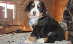 We have 5 beautiful Bernese Mountaindog puppies for sale. There are 3 males and 1 female. They are born on Dec. 23 and ready to go on Febr. 25 and come with first shots given, declawed, dewormed and with a health certificate from the vet. Both parents are