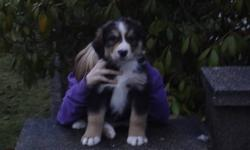 These puppies are super cute. All are very friendly and well socialized. Looking for a new home for Christmas. They are 1/2 Bernese Mt Dog, 1/4 Great White Pryanese and 1/4 Golden Retreiver. Puppies have had their first vet check, first shots and have