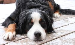 Registered female bernese looking for a boyfriend :) Would prefer a bernese, but will consider a pyrenees Thanks!