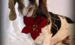 Meet Betsy, she is a 7 year old Basset Hound mix. Betsy is a laid back girl who loves to love and be loved. Give her an in and you won?t be able to let her go, she is such a loving soul and would be so happy to be in her new forever home very soon. Stop