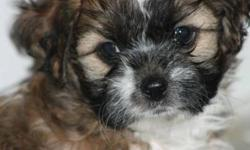 There 4 little girls looking for a home. They have had their first shot and been dewormed. The mom is a friendly Bichion weighing 5 kg and dad is a Shih Tzu at the same weight. The pups can be visited in my home or they can be delivered to the city