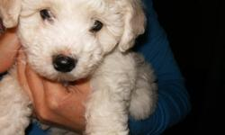 BICHON FRISE MALE PUP,non-shedding breed,has been vet checked,1st shots,dewormed,raised in my home,being yard trained,parents in my home,fed holistic pet food 604-820-0194