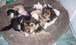 .......................NON SHEDDING AND HYPOALLERGENIC .................................READY TO GO NOW...................................I .I HAVE 1 MALE AND 1 FEMALE LEFT ALL PUPPIES COME WITH A VACCINATION RECORD 1 ST SHOTS AND ARE DEWORMED 2 TIME