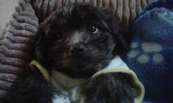 just over 2months old, mom's a bichon and the dad's a shih tzu,,,very adorable, playful and loving puppy. male. his color is brown, abit of grey and white,,, picture makes him look dark, but he's really not.  he had his 1st shot already and dewormed.