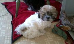 One female Teddy Bear Bichon Shih Tzu. Has had 1st Shot and dewormed. Very playful, been raised with other dogs, cats and kids. Mother is Bichon Shih Tzu and Dad is Shih Tzu. Both parents are here. Phone 403-813-7416