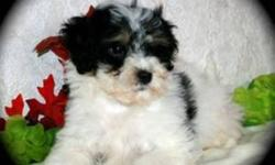 Bichon Shih Tzu Female, DOB 25 of july, has had her first shots, been dewormed, Ready to go to her wonderful new home, Non shedding cute fluffy teddy bear, She loves to cuddle, and is very playful, Great with kids. Price is 400.00, Will meet in Airdrie.