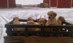 We have a litter of 11 golden retreiver / lab cross pups ready for their forever homes.They were born Dec 1 2011and now are 8 weeks old. There are 6 females and 4 males , first shots dewormed and vet checked. Oh they are so adorable and sweet u will need