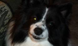 HENRY IS PRESENTLY ON HOLD FOR FRIENDS OF OURS. IF YOU ARE INTERESTED LEAVE ME YOUR E-MAIL AND I CAN E-MAIL YOU IF OUR FRIENDS CHANGE THEIR MINDS. Selling our male (neutered) four year old black and white Pomeranian/American Eskimo cross dog. Has