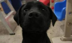 7 month old male pup ready to go for Christmas! Mother is a purebred Black lab, father is purebred Bullmastiff. Great around kids! Has lots of energy and would be a great addition to any family. Please email or call if you have any questions. Can deliver