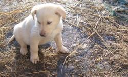 We have only 3 left.They are males. We have 1 golden and 2 blacks.They are happy healthy pups. The mom is a black lab cross and dad is a purebred golden retreiver. These are large dogs so very suitable for farms or acreages. They are alert barkers but are