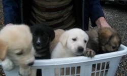 Beautiful black lab/samoyed mixed puppies for sale.  Eight weeks old on Thursday. Two males( multi-coloured,  white short haired) and  2 females ( black fluffy, and white with blue eyes) available.  Weaned and on solid food .Very nice temperaments,