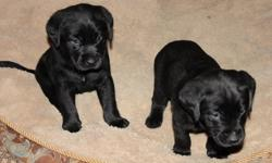 Ready  to go today. Litter of 9.  1 little girl left 1st shots and dewormed  insurance policy through vet till Feb 16, 2012(can be extended). Parents are both well mannered very gentle dogs good with kids and great retrievers. Starting to paper train and