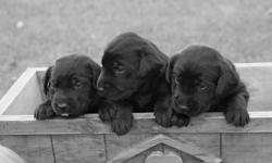 We have 5 males and 2 females left. Puppies are seven weeks old and ready to go to good homes - come and pick your beautiful new addition out! Puppies are eating puppy food and drinking water on their own. If you would like your puppy for a Christmas