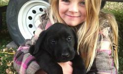 Black lab puppies for sale! Price just reduced again! Puppies are 11 weeks old & ready to go to their new homes. Puppies have had their first set of immunizations, deworming and have been vet checked. Puppies come with their vet booklet & a small bag of